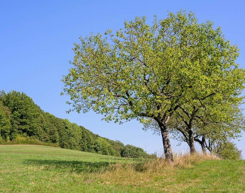 Auf dem Kirschholzberg im Saarland. Viele alte Obstbäume... eine schöne Ecke, um ein wenig zu wandern.
