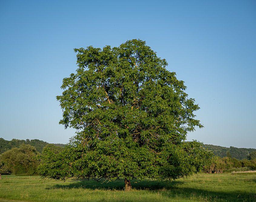 Baum, Sinzig