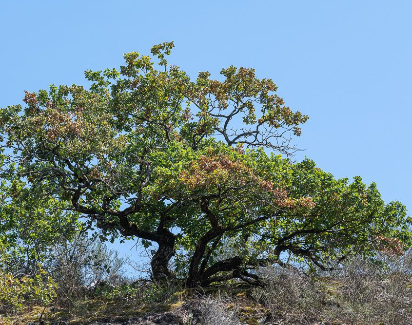 Oak on a hill, Pyrmonter Mühle
