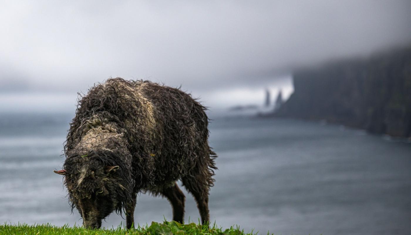 Faroese Bad Hair Day