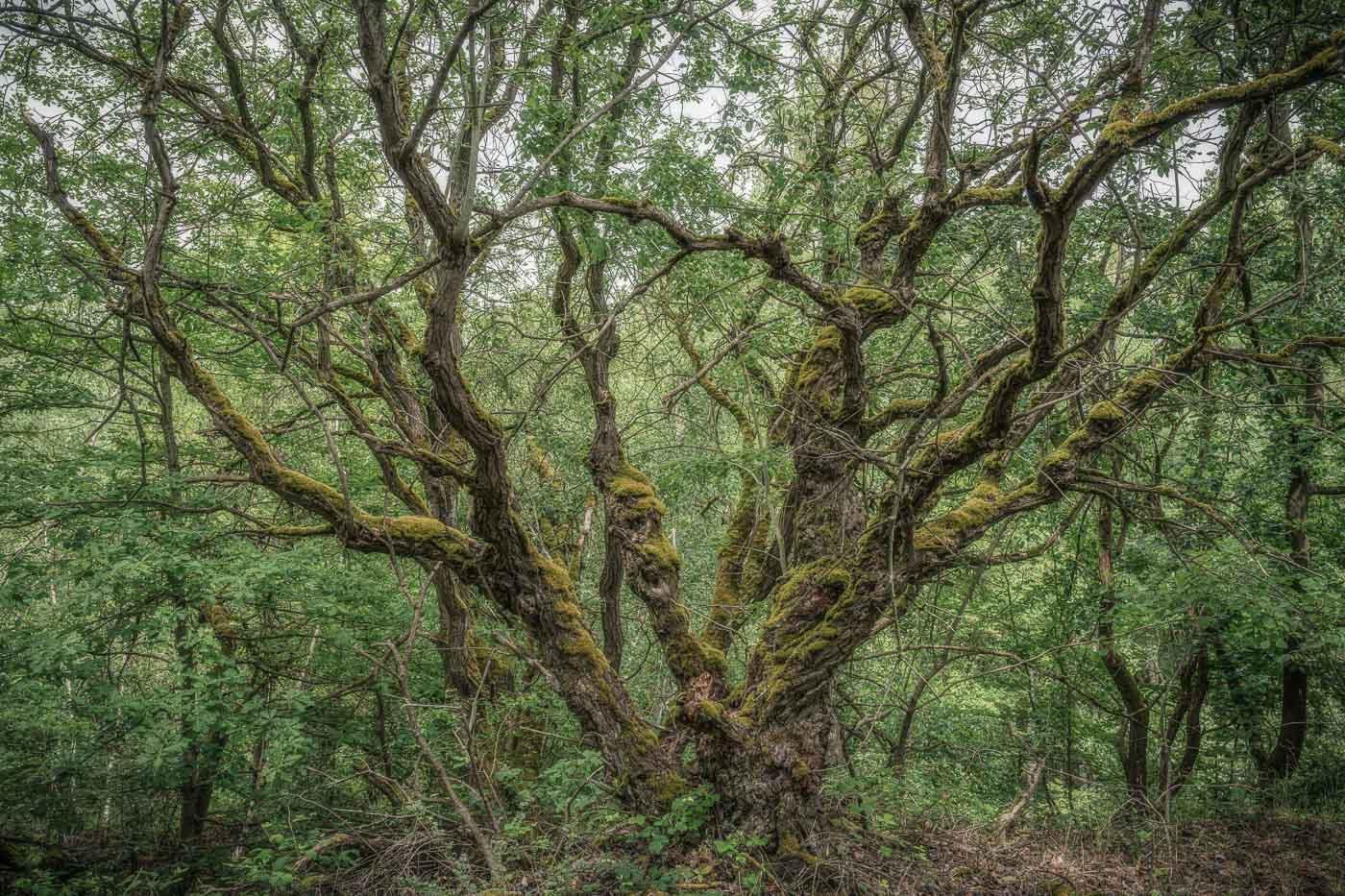 Jahresrückblick 2020 - Mai - Alte vermisste Eiche im ehemaligen Basaltbergbau Ettringen