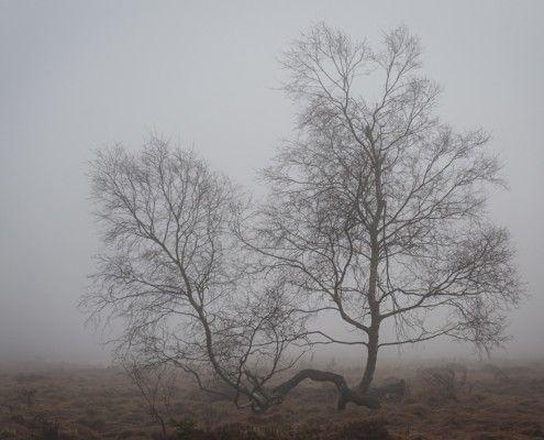 Twins - Zwei Bäume im Moor